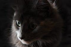 一只灰色猫,在远的眼睛的焦点的特写镜头画象与大嫉妒的 免版税图库摄影