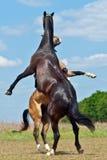 两匹马争斗  免版税库存图片