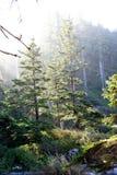在原始林森林的早晨太阳 库存图片