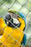 Вертикаль портрета глаза птицы желтого зеленого цвета попугая ары голубая Стоковое фото RF