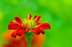美丽的百日菊属 库存照片
