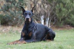 我的最好的朋友短毛猎犬 免版税库存照片