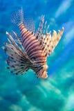 狮子鱼在蓝色海洋 免版税库存照片