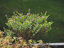 小的灌木 免版税库存照片