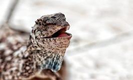 蜥蜴头 库存图片