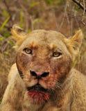 Взгляд смерти льва Стоковые Изображения