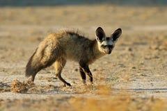 棒有耳的狐狸 免版税图库摄影