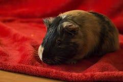 Морская свинка на красном одеяле Стоковые Фото
