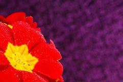 美丽的红色樱草属 库存图片