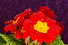 红色樱草属 库存图片