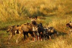 Τα αφρικανικά άγρια σκυλιά μοιράζονται πάντα τα τρόφιμα Στοκ Φωτογραφία