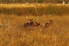 Африканская диких собак еда доли всегда Стоковые Фото