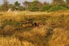Африканская диких собак еда доли всегда Стоковые Изображения RF