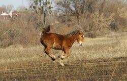 跳跃在领域的红色马 免版税库存图片