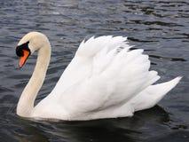 белизна лебедя Стоковое Фото