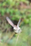 与翼移动的夜莺 库存照片