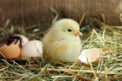 逗人喜爱的黄色鸡和蛋壳在背景 免版税图库摄影