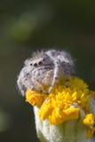花跳的蜘蛛黄色 免版税图库摄影