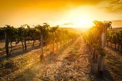 意大利托斯卡纳葡萄园 日落的酒农场 葡萄酒 免版税库存照片