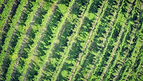 виноградник вида с воздуха сток-видео