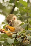 松鼠猴子 库存图片