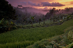 Розовый заход солнца над индонезийским тропическим лесом, Ява, Индонезией Стоковое Фото