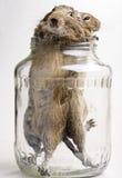 在瓶子的两只仓鼠 免版税库存照片
