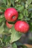 红色成熟苹果果子在耕种的苹果树分支的在夏天英语的从事园艺 免版税库存图片