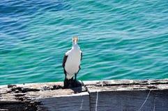 在跳船边缘的澳大利亚染色鸬鹚 库存图片