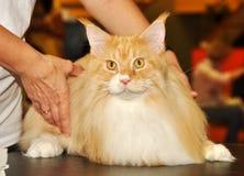 美丽的红色缅因树狸猫 免版税库存图片