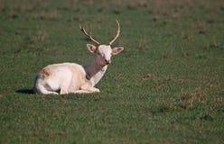 平安地休息的小鹿 图库摄影