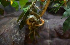 金黄蛇结构树 库存照片
