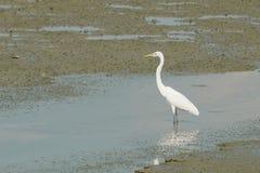一只巨大白色苍鹭的画象 库存图片