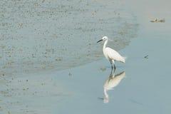 一只巨大白色苍鹭的画象 图库摄影