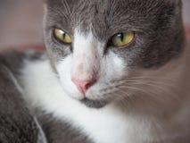 与大眼睛凝视的猫面孔 免版税库存图片