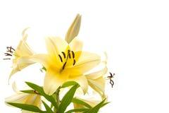 在白色背景隔绝的淡黄的百合 免版税库存照片