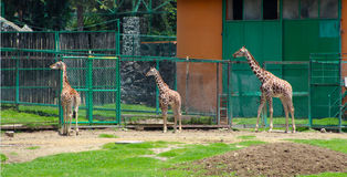 在动物园的三头小的长颈鹿 免版税图库摄影