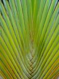 旅客棕榈 免版税图库摄影