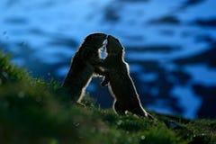 战斗的动物土拨鼠,早獭早獭,在与自然岩石山栖所的草,有早晨后面光的,阿尔卑斯,法国 免版税图库摄影