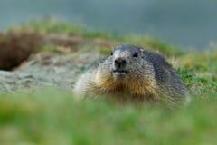 逗人喜爱的肥胖动物土拨鼠,早獭早獭,坐在与自然岩石山栖所的草,阿尔卑斯,法国 免版税库存图片