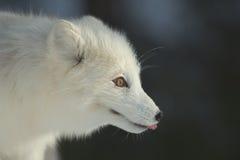 白狐冬天 免版税库存照片