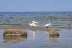 在沙子海岛上的跳舞天鹅 库存图片