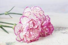 美丽的桃红色康乃馨在白色木背景开花 免版税库存照片
