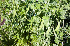 背景接近的绿豆豌豆荚上升白色 库存图片