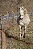 与黄色三角背心的白色母马小跑在铁丝网篱芭附近的 免版税库存照片