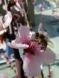 Пчела на цветке Стоковая Фотография RF