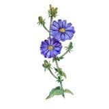 苦苣生茯,菊苣水彩图画在白色背景开花开花并且成长 手拉的植物 免版税库存照片