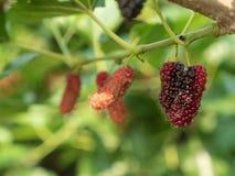 Φρούτα μουριών στον κλάδο Στοκ φωτογραφία με δικαίωμα ελεύθερης χρήσης