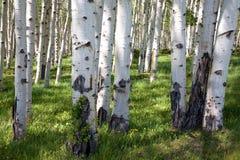 Δάσος σημύδων Στοκ εικόνα με δικαίωμα ελεύθερης χρήσης