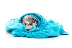 在浴以后的西伯利亚爱斯基摩人小狗用一块蓝色毛巾盖 免版税图库摄影